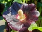 "Preview: Stockrose - Alcea rosea ""Black"""