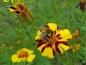 Preview: Hohe Tagetes - Tagetes patula Magna