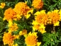 Preview: Tagetes patula
