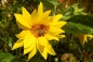 Preview: TW Topinambur - Helianthus tuberosus