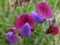 Preview: Duftwicke 'Cupani' - Lathyrus odoratus