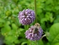 Mobile Preview: Mazedonische Witwenblume - Knautia macedonica