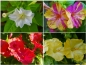 Preview: Wunderblume - Mirabilis jalapa Mix