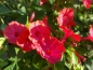 Preview: Rote Wunderblume - Mirabilis jalapa Red