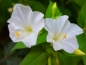Preview: Weisse Wunderblume - Mirabilis jalapa white