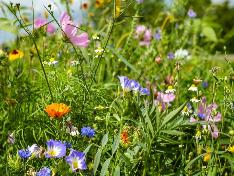 Saatgut Blühwiesenmischung - Trachtwiesenmischung