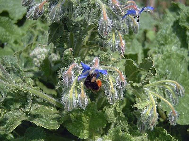 Saatgut Borretsch - Borago officinalis