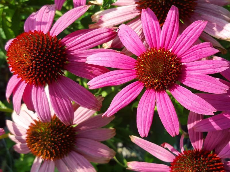 purpur sonnenhut echinacea purpurea