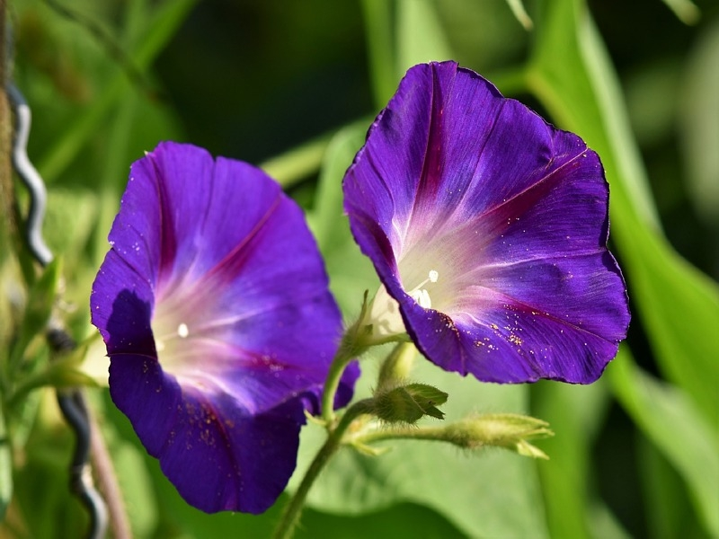 Prunkwinde - Ipomoea Mix