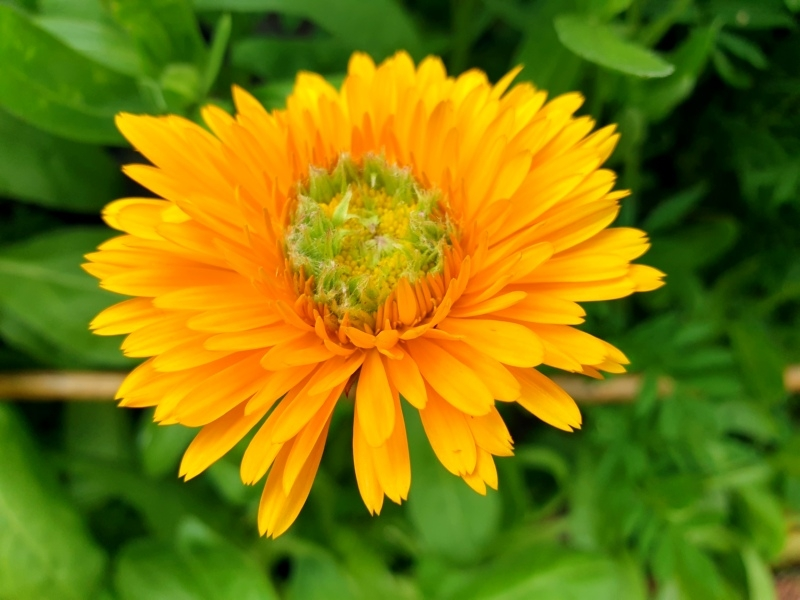 Saatgut Ringelblume Greeheart Orange - Calendula officinalis