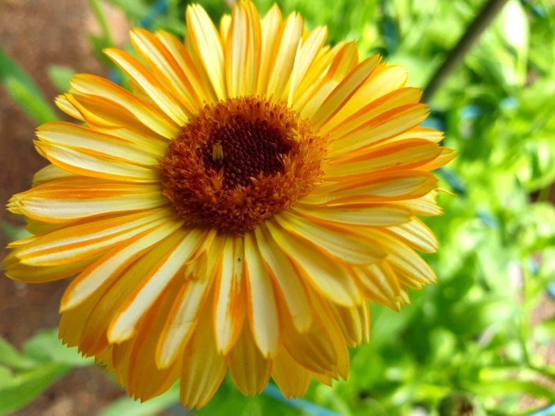 Saatgut Ringelblume Orange Flash - Calendula officinalis