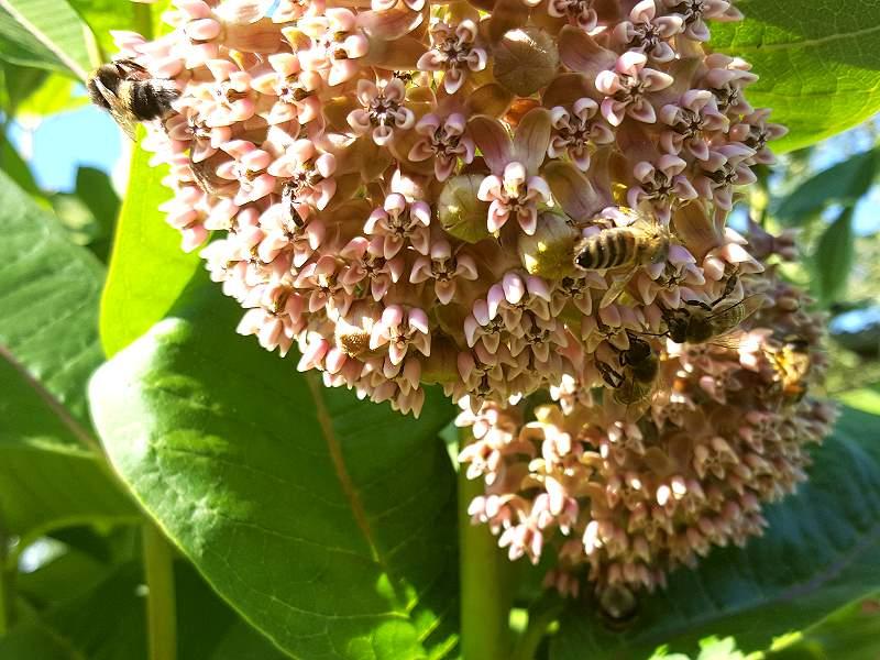 Saatgut Echte Seidenpflanze - Asclepias syriaca