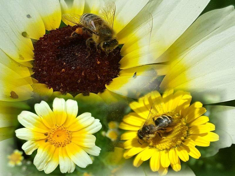 Saatgut Mischung Wucherblumen - Chrysanthemum segetum