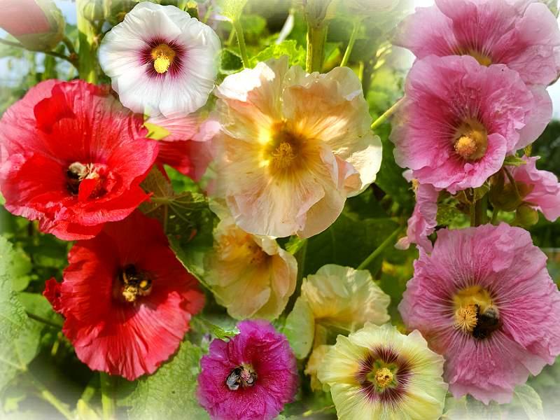 Winterharte Stauden Samen von der Akelei in rosa und rot//weiß 100 Samen Mix
