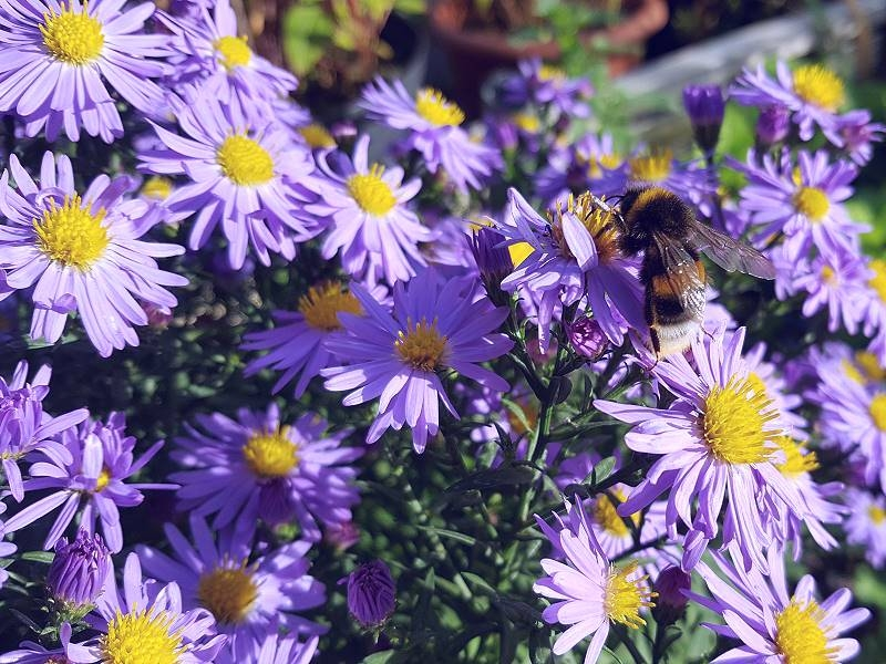 TW Blaue Kissenaster - Aster dumosus 'Lady in Blue'