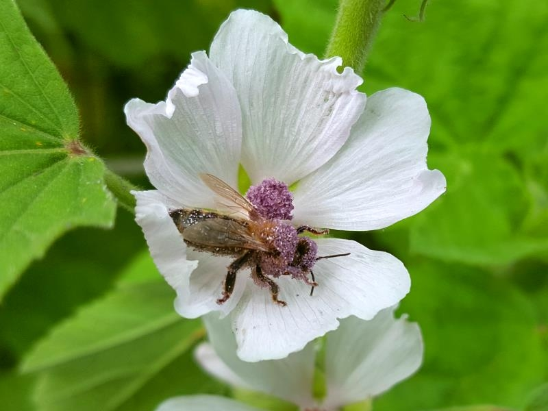 Echter Eibisch - Althaea officinalis
