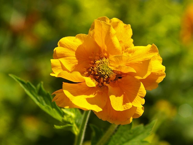Chilenische Nelkenwurz 'Goldball' - Geum chiloense