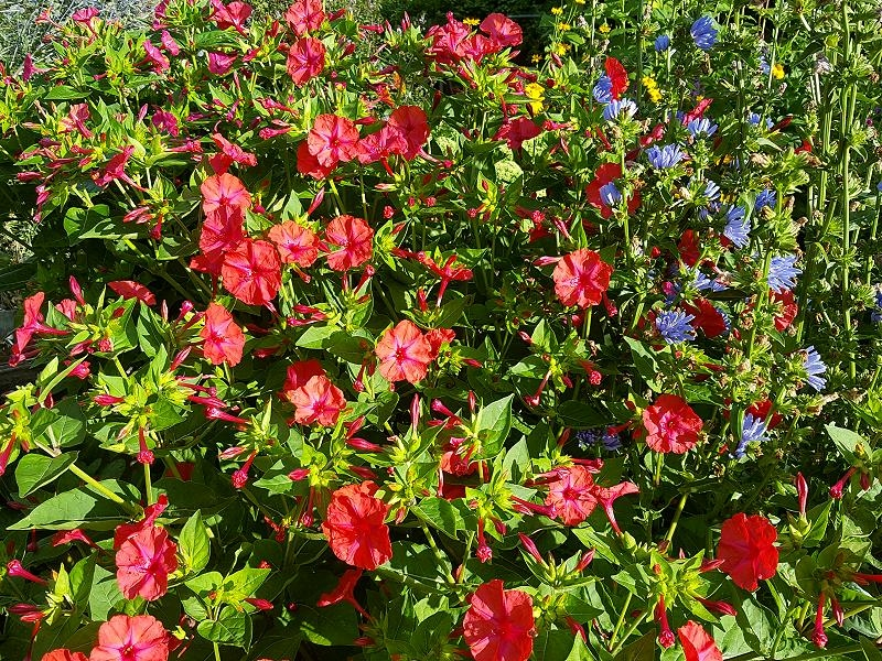 Rote Wunderblume - Mirabilis jalapa Red