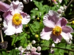 Herbst-Anemone 'Robustissima' - Anemone tomentosa