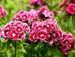 Saatgut Bartnelken - Dianthus barbatus MIX