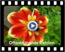 Offenblühende Dahlien