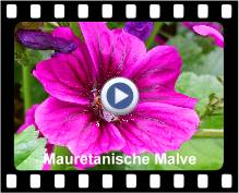 Mauretanische Malve