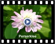 Perserklee
