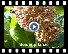 Seidenpflanze